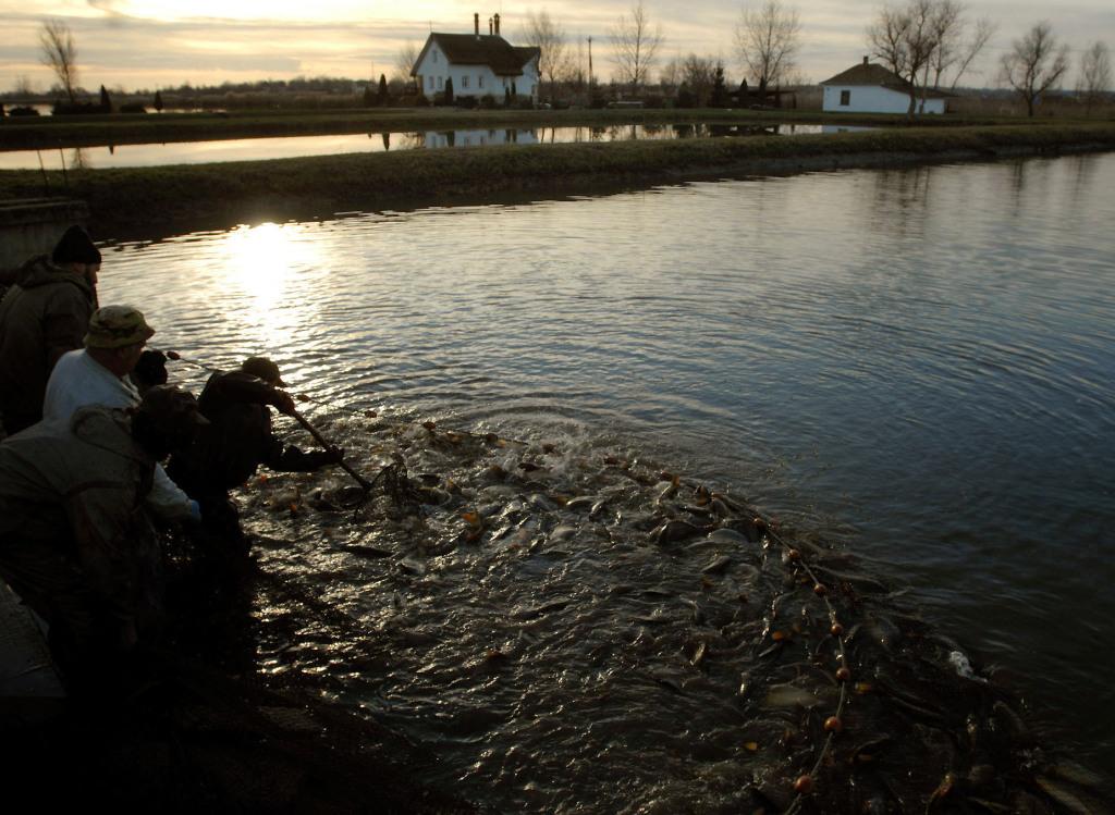 Hajnali kiskörei lehalászás