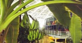 Banán terem az egyik hazai fürdőben