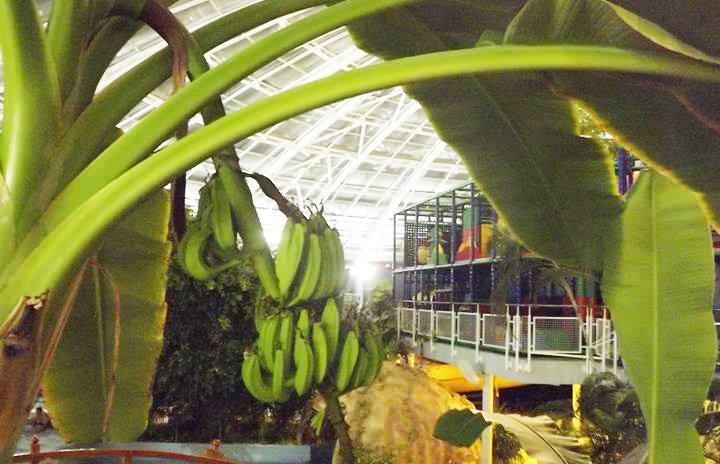 Aquaticum banán