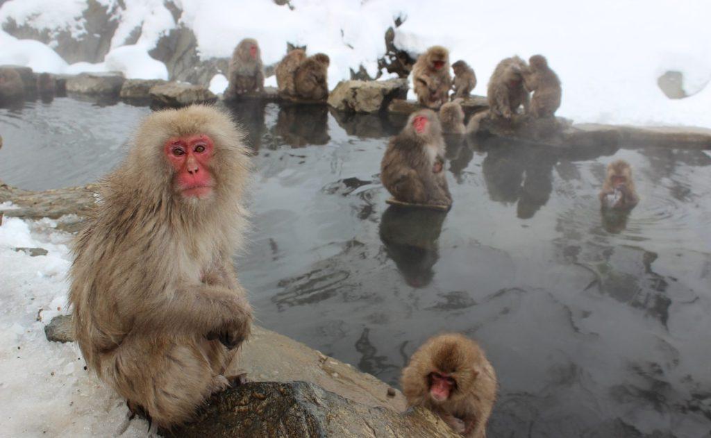 termál majmok makákó