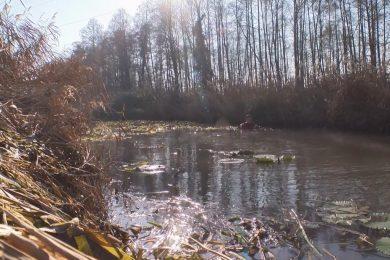 Utoljára bivalyokkal tisztították a Hévízi-csatornát